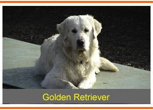 Golden retriever ass